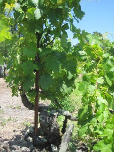An old Zinfandel vine.  Note the thick trunk and lack of tellising.
