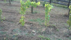 A couple of hilled up vines