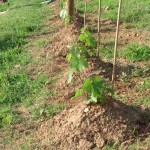 Cab franc vines starting to look like something