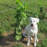 Glory, the-Vineyard-Dog-in-Training, standing guard over a vine.