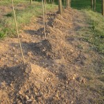 Still-dormant vines, hilled-over after planting