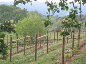 A spring-time view of the newly-planted vineyard