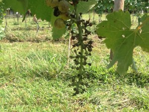 You can see that most of the grapes have been picked off this cluster