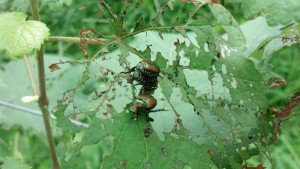 First came the Japanese beetles, but there were so many other predators that followed.