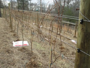 Vines before pruning - a bit of a tangled mess
