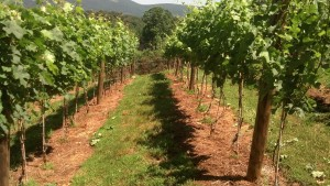 Looking good: the vineyard in the weeks before the Japanese Beetles arrived.