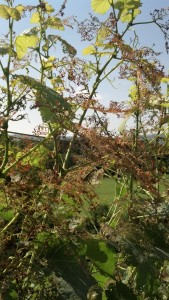 The vines are okay, but it's still heartbreaking to see this kind of damage. Zoom in, and you'll see what I mean.