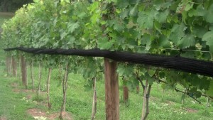Here's what the netting looks like after it's rolled up, waiting until the grapes are ripe enough to attract predators.