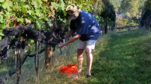 Picking the Cab Franc. Started at first light, just finishing as the sun is starting to rise.